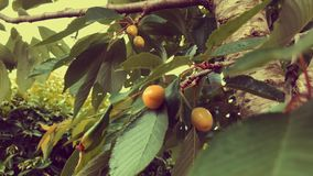 Branches with unripe cherries. In a cherry tree. Footage has an artistic orange filter applied stock footage