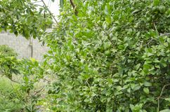 Branches of Unripe Key Lime stock photo