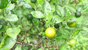 Branches with unripe lemons. Lemon trees, agriculture. stock video