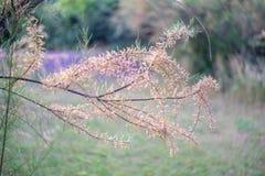 The branches of the unusual shrub Tamarix tetrandra. Shallow depth of field Royalty Free Stock Photos