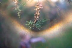 The branches of the unusual shrub Tamarix tetrandra. Shallow depth of field. Lens flare Stock Image