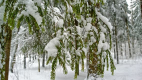 Branches vert clair de sapin couvertes de neige images stock