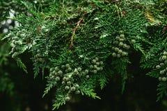 Branches vertes d'un cyprès d'usine à feuilles persistantes photos libres de droits