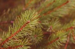 Branches vertes d'un plan rapproché de pin photo libre de droits