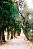Branches vertes de cyprès Images libres de droits