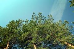 Branches vertes de pin contre le ciel Images libres de droits