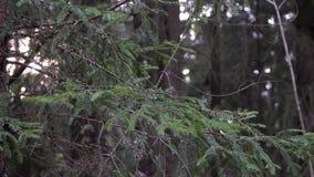 Branches vertes de sapin dans les bois banque de vidéos