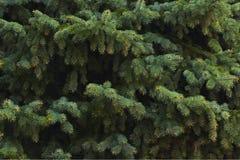 branches vertes de sapin, fond Image libre de droits