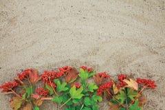 Branches vertes fraîches de viburnum rouge sur le fond de sable Photo libre de droits