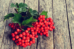 Branches of viburnum Royalty Free Stock Photos