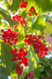 The branches of viburnum Royalty Free Stock Images