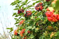 Branches of Viburnum with multicolored berries stock photography
