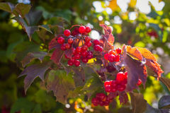 Branches of viburnum viburnum opulus berries with its leaves,v Royalty Free Stock Images