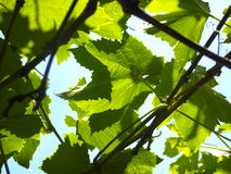Branches of the vine Royalty Free Stock Image