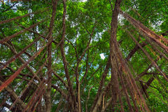 Branches and vines of Banyan tree against a blue sky. Royalty Free Stock Images