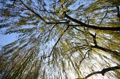 Branches of weeping willow growing on the coast of West Lake. Popular park of Hangzhou city China stock image