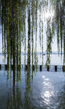 Branches of weeping willow growing on the coast Royalty Free Stock Photo