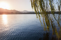 Branches of weeping willow growing on the coast Royalty Free Stock Image