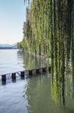 Branches of weeping willow growing on lake coast Royalty Free Stock Image