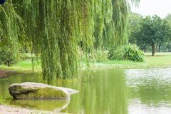 Branches of weeping willow near lake in beautiful park.  stock photography