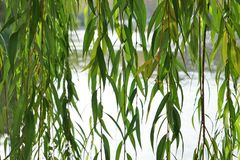 Branches of weeping willow near lake. In beautiful park Stock Image