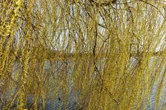 Branches of weeping willow in the park. In spring stock photography