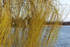 Branches of weeping willow in the park. In spring royalty free stock image