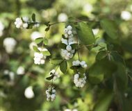Branches with white berries Snowplum  Symphoricarpos albus. Close up Royalty Free Stock Photos