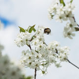 Branches of a white flowering cherry against the blue sky. Bumblebee in flight on flower. Concept of beautiful nature Stock Images