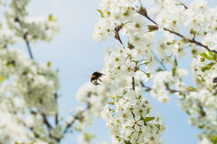 Branches of a white flowering cherry against the blue sky. Bumblebee in flight on flower. Royalty Free Stock Image