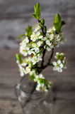 Branches of white flowering plum tree. Stock Image