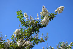 Branches of a white flowering tree Stock Photos