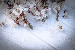 Branches of white flowers - apricots and yellow stamens on a white, wooden background. Place for text. The concept of spring has stock image