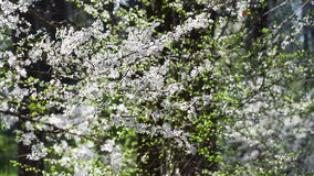 The branches with white flowers of the fruit tree. Gentle white flowers of the fruit tree. Fruit garden in the morning stock footage