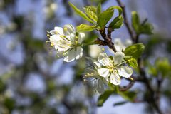 Branches with white flowers of plum blossom in spring in the garden stock photos