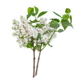 Branches of white lilac Stock Photos