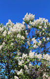 Branches of white lilac blossoms Royalty Free Stock Photos
