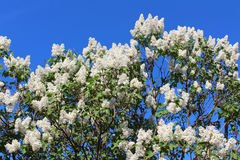 Branches of white lilac blossoms Stock Images