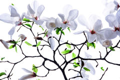 Branches of white magnolia. On a white background Stock Photography