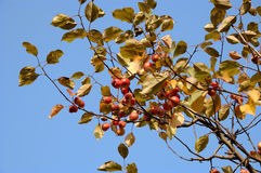 Branches of  wild apple-tree Royalty Free Stock Photography