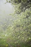 Branches. Of a wild Bush with flowers on the background of a misty forest Royalty Free Stock Photo