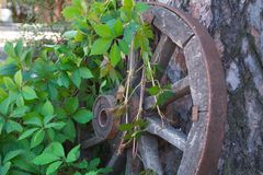 Old cartwheel entwined with branches of wild grape. royalty free stock image