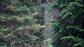 Branches of wild pine trees in forest in cloudy weather. Stock footage. Old coniferous trees sway their branches in stock video footage