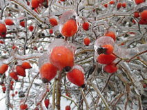 Branches of wild rose hips Royalty Free Stock Photo