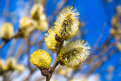 Branches of a willow blossom in the spring Stock Photos