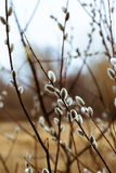 Branches of a willow blossom Royalty Free Stock Image