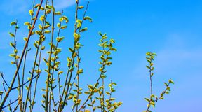 Branches of willow with blossoming buds, spring has come_ royalty free stock photography
