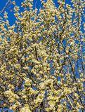 Branches of willow with fluffy yellow earrings on the background of blue sky in the sunny, spring day. Easter festive mood.  royalty free stock photos
