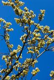 Branches of willow with fluffy yellow earrings on the background of blue sky in the sunny, spring day. Easter festive mood.  stock images