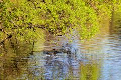 Willow with green foliage in the spring. Branches of willow with green foliage in the spring above the water royalty free stock photo